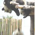 Pandaotita